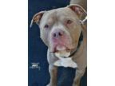 Adopt Joey a Pit Bull Terrier