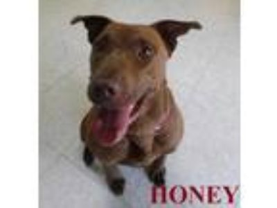 Adopt HONEY a Brown/Chocolate American Staffordshire Terrier / Labrador