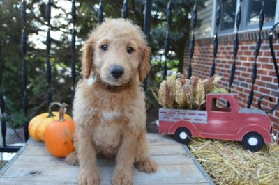 Goldendoodle PUPPY FOR SALE ADN-101724 - Eddie