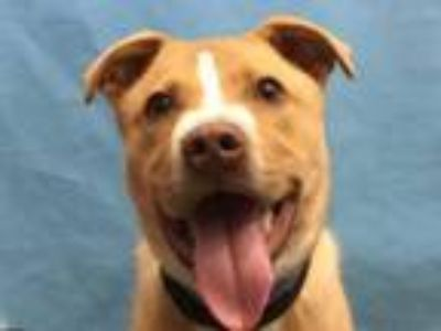 Adopt Izzie a Pit Bull Terrier, Mixed Breed