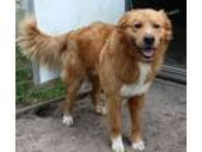 Adopt Charles a Golden Retriever, Mixed Breed