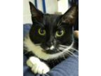 Adopt Josie a Black & White or Tuxedo Domestic Shorthair (short coat) cat in