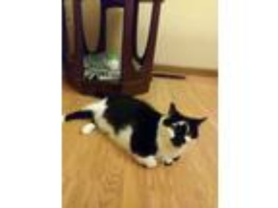 Adopt Maisy (FC-SC) a American Shorthair