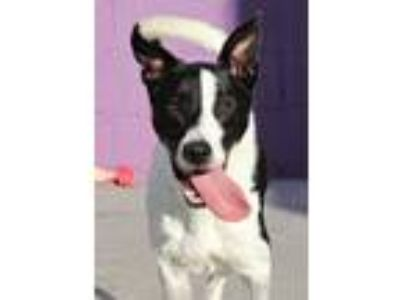 Adopt ZEKE a Black - with White Border Collie / Mixed dog in San Pedro