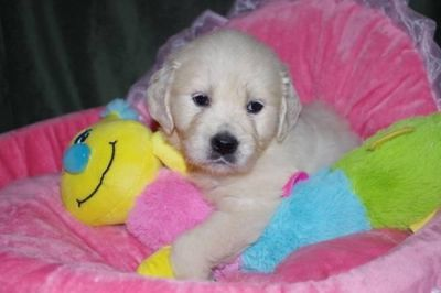 Golden Retriever Puppies For Sale Classified Ads In Detroit
