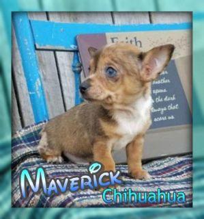 Maverick Male Chihuahua Puppy