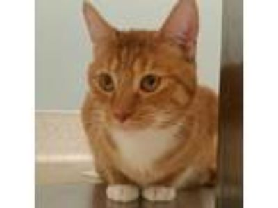 Adopt Big G a Orange or Red Domestic Shorthair / Domestic Shorthair / Mixed cat