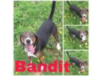 Adopt Bandit a Beagle, Mixed Breed