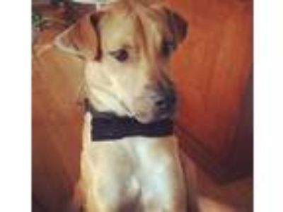 Adopt Arlo a Tan/Yellow/Fawn Labrador Retriever / Mixed dog in Long Beach