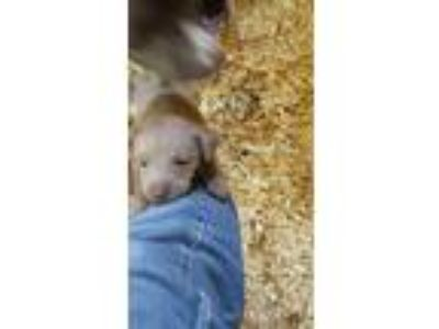 Adopt Puppies a Black Pit Bull Terrier / Mixed dog in Augusta, GA (25347056)