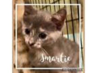 Adopt Smartie a Domestic Short Hair