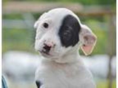 Adopt Damon a White Terrier (Unknown Type, Small) / Mixed dog in Marshall