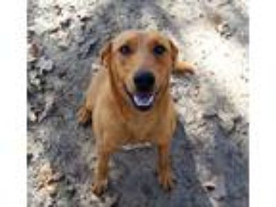 Adopt Sadie a Red/Golden/Orange/Chestnut - with White Australian Cattle Dog /