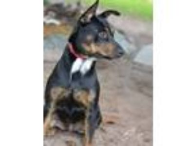 Adopt Chelsea a German Shepherd Dog, Doberman Pinscher
