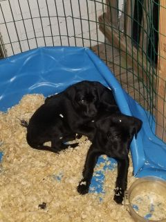Full blooded lab puppies