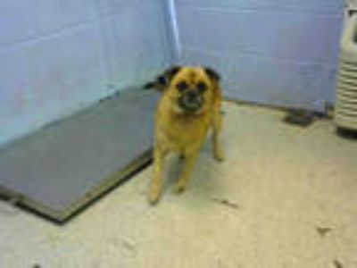 Adopt ROMEO a Tan/Yellow/Fawn Pug / Chow Chow / Mixed dog in Atlanta