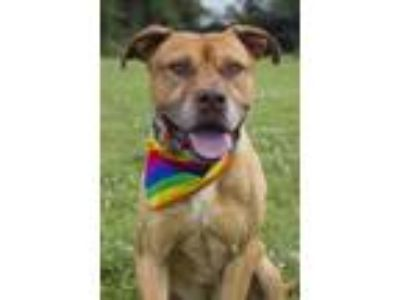 Adopt Dayton a Brown/Chocolate American Pit Bull Terrier / Mixed dog in