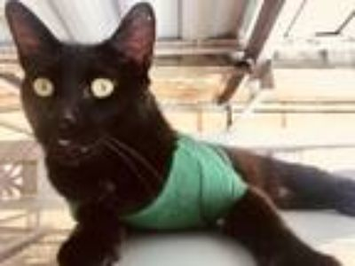 Adopt Arthur a All Black Domestic Mediumhair / Mixed cat in Carson
