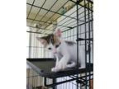 Adopt Petey a Domestic Short Hair