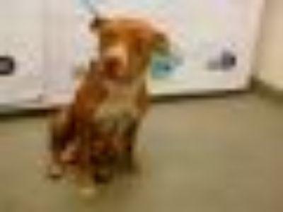 NINA American Bulldog - Mixed Breed Dog