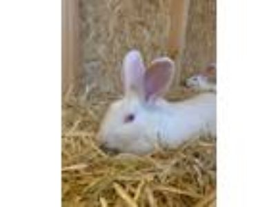 Adopt Wilmington a White New Zealand / Mixed (short coat) rabbit in Los Angeles