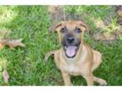 Adopt Tallulah a Brown/Chocolate - with Black Hound (Unknown Type) / Mixed Breed