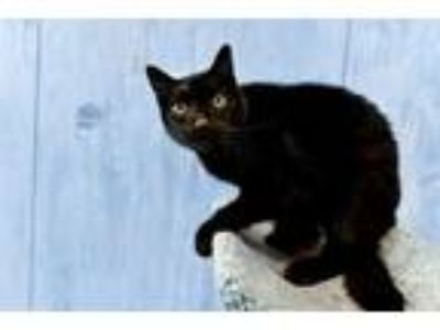 Adopt Fred a Domestic Shorthair / Mixed (short coat) cat in Park City