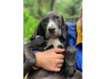 Adopt Mandu a Black - with White Coonhound / Labrador Retriever / Mixed dog in