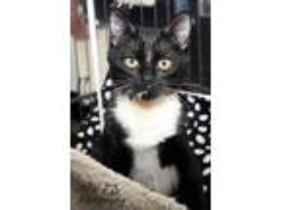 Adopt Chicken Noodle a All Black Domestic Shorthair / Domestic Shorthair / Mixed