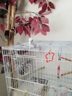 MINI PARAKEET (Parrotlet) FOR SALE