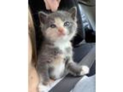 Adopt Lucy a Calico or Dilute Calico Domestic Shorthair (short coat) cat in Toms