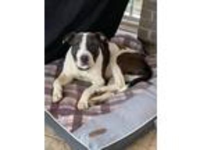Adopt Ryker a Black - with White Pit Bull Terrier / Boxer / Mixed dog in