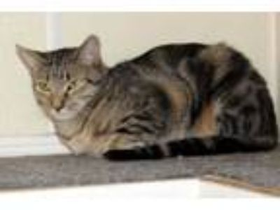 Adopt Peaches a Gray, Blue or Silver Tabby Domestic Shorthair (short coat) cat