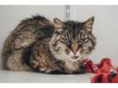 Adopt Nichol a Domestic Short Hair