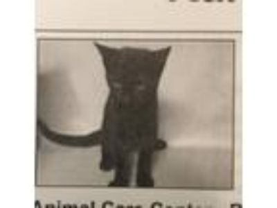 Adopt Karly a All Black Domestic Shorthair / Mixed (short coat) cat in Hudson