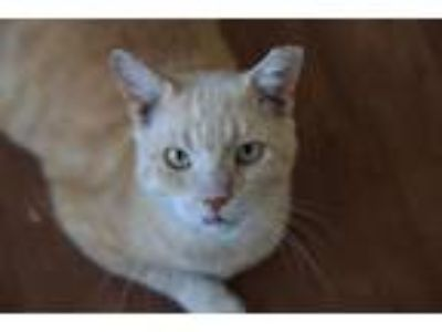 Adopt Slinky a Tan or Fawn (Mostly) Domestic Shorthair / Mixed (short coat) cat
