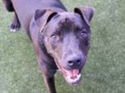 Adopt a Black - with White American Pit Bull Terrier / Labrador Retriever /
