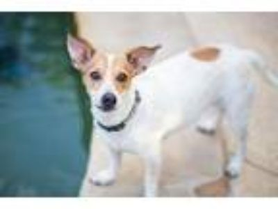 Adopt Texanna a Rat Terrier, Cattle Dog