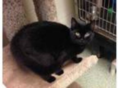 Adopt Kora a All Black Domestic Shorthair / Domestic Shorthair / Mixed cat in