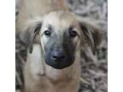 Adopt Taupe a Shepherd, Mixed Breed