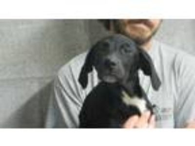 Adopt Thelma a Black Labrador Retriever / Mixed dog in Amory, MS (25334424)