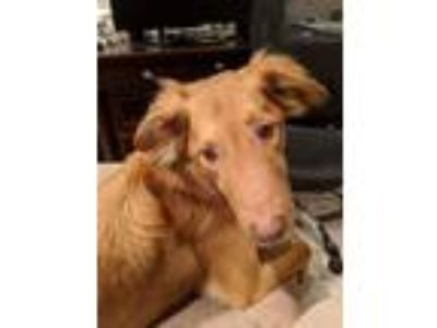 Adopt Moe a Golden Retriever, Collie
