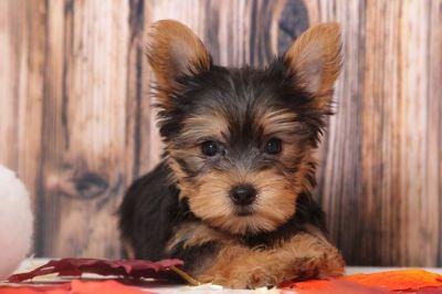 Yorkshire Terrier PUPPY FOR SALE ADN-104953 - Winnie Beautiful Little Female Yorkie Puppy