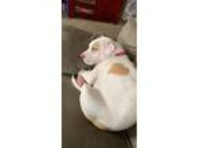 Adopt Nala a White - with Brown or Chocolate American Pit Bull Terrier / Pharaoh