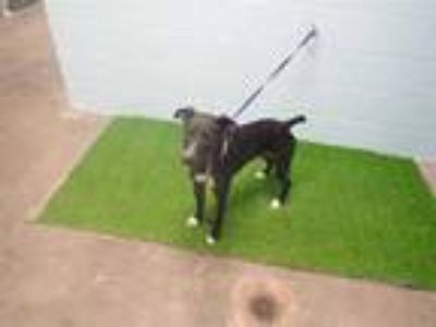 Adopt BELLA a Black - with White Mixed Breed (Medium) / Mixed dog in St.