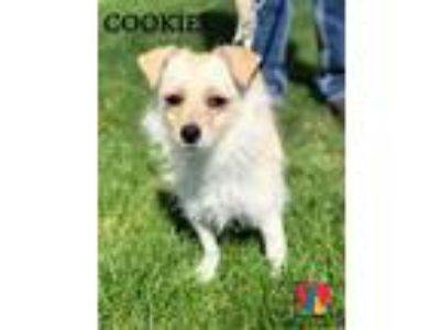 Adopt Cookie a Papillon, Wirehaired Terrier