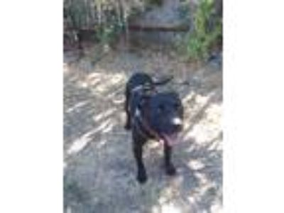 Adopt Wendy a Black American Pit Bull Terrier / Labrador Retriever / Mixed dog