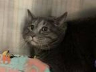 Adopt FISH STICK a Domestic Short Hair