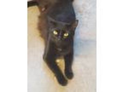 Adopt Candy a Black & White or Tuxedo Domestic Shorthair cat in Acworth