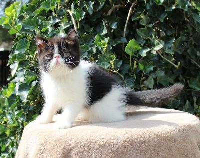 8/31/19 Exotic Shorthair Persian Kittens Available!